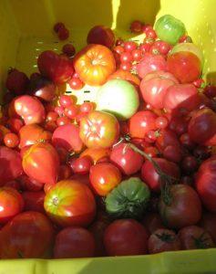 tomato varieties 1 237x300 - tomato varieties