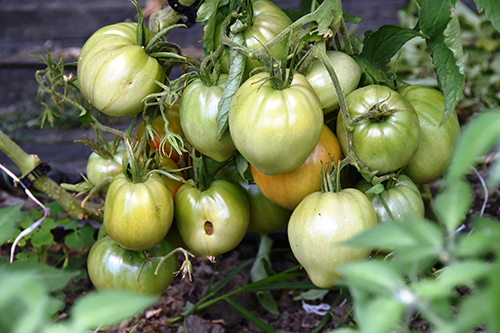 tomato clump - Forever popular amid pandemic: Brady Farm
