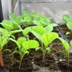 eggplants grow in propagation shed color 150x150 - Brady Market 'counting on you'