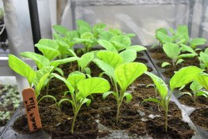 eggplants grow in propagation shed color 300x200 - eggplants grow in propagation shed color