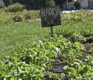radish row 300x259 - radish row